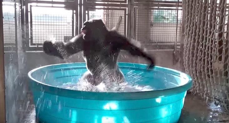 gorila, bailando, video, viral, Animales, gorila bailando
