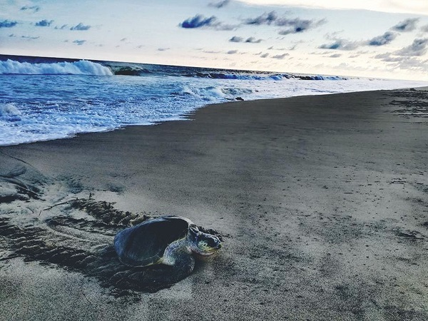 Tortugas golfinas llegan a playas de oaxaca