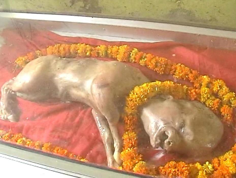 Becerro que nació con cabeza humana causa pavor en India