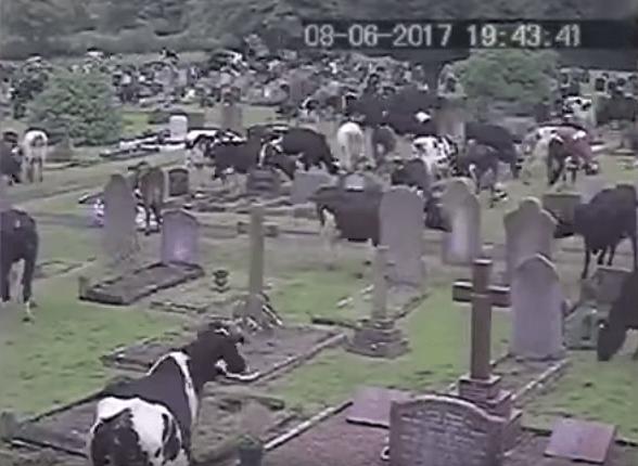vacas, cementerio, panteón, Inglaterra, tumbas, Thorsbury