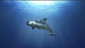 mexico realiza acciones para proteger vaquita marina