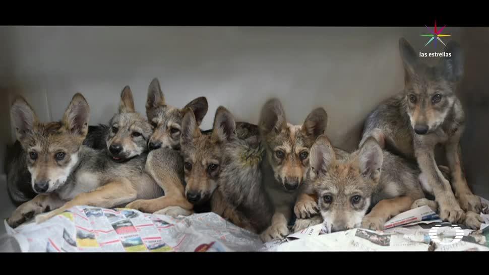nuevos, habitantes, Zoológico, Los Coyotes, lobos, mexicanos