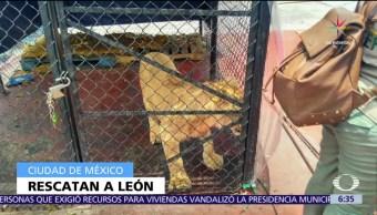 Policías CDMX, escatan a un cachorro león, azotea