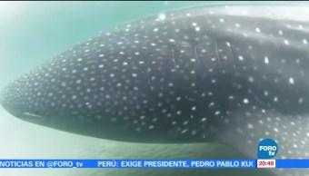 noticias, forotv, Protección, tiburón ballena, Mar de Cortés, tiburón