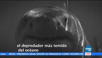 noticias, forotv, Michael Phelps, competirá, mar abierto, contra un tiburón
