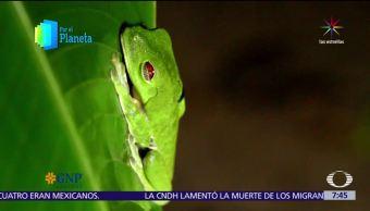 Costa Rica, paraíso, especies, ranas