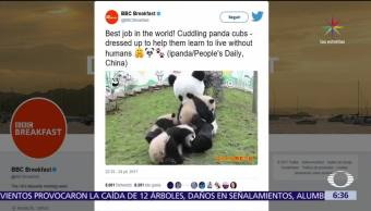 Trabajador, disfraza, osos panda, padre