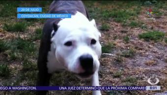 Informacion Ataques Perros Pitbull Muertos Mexico