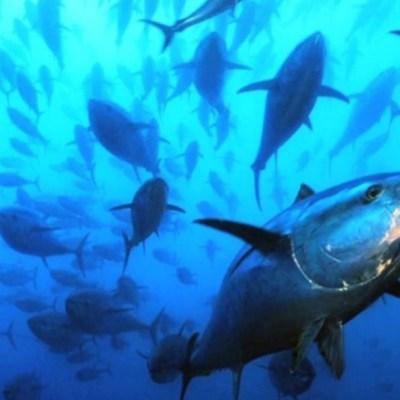 Atún aleta azul, en peligro de extinción en mares mexicanos