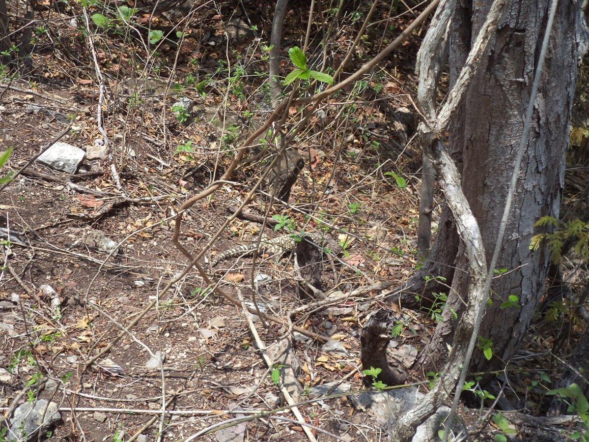 Autoridad ambiental reintegra a su hábitat a lagarto en Colima. (Profepa)