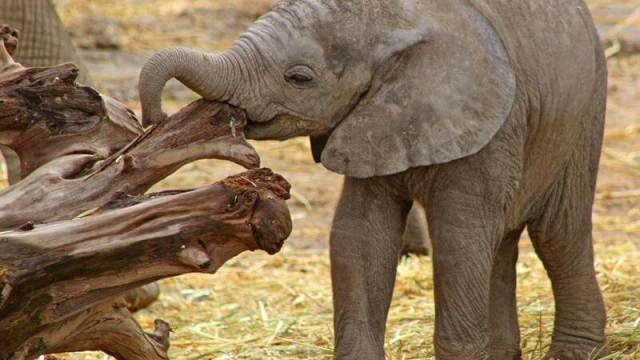 Cria, Elefante Africano, Puebla, Medio Ambiente, Africam Safari
