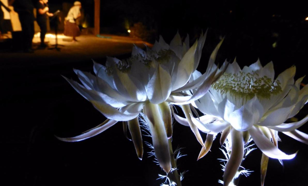cactus, tohono Chul Park, flor, noche, florece