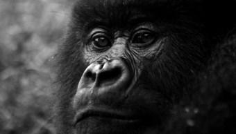 Ella es Koko, la gorila que habla
