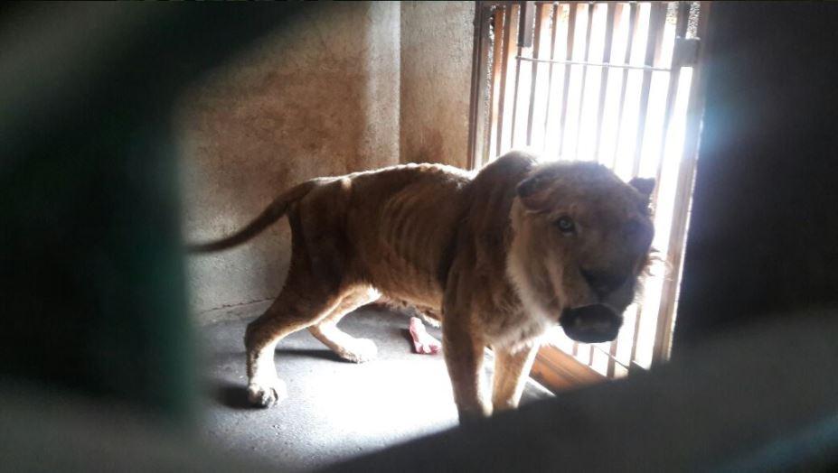 la profepa asegura un leon africano en guanajuato