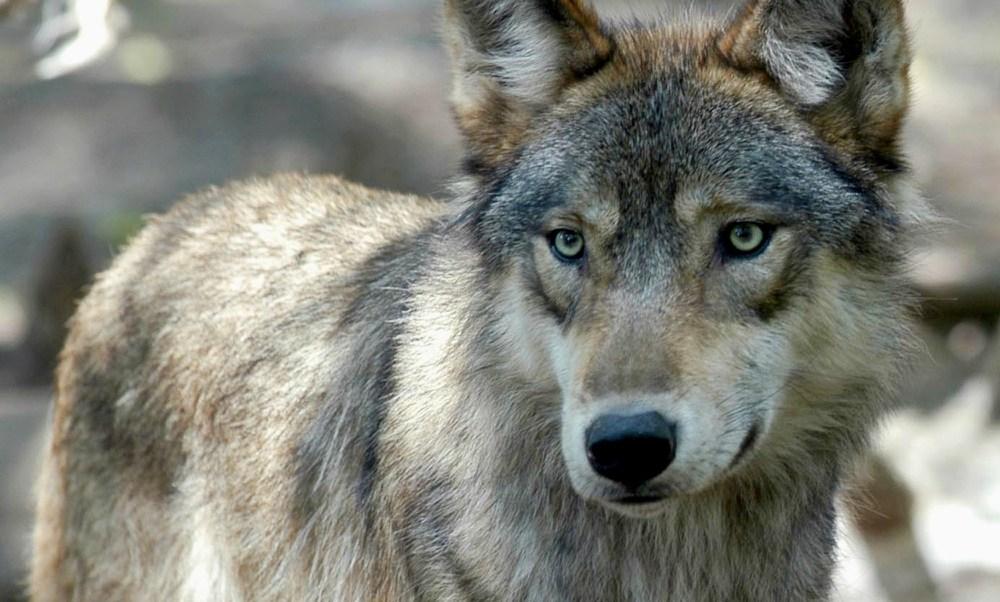 zoológico, mata, loba, lobo, cachorros, Ember