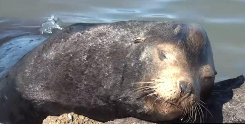 Lobo marino reposa en una piedra en costas de Baja California Sur