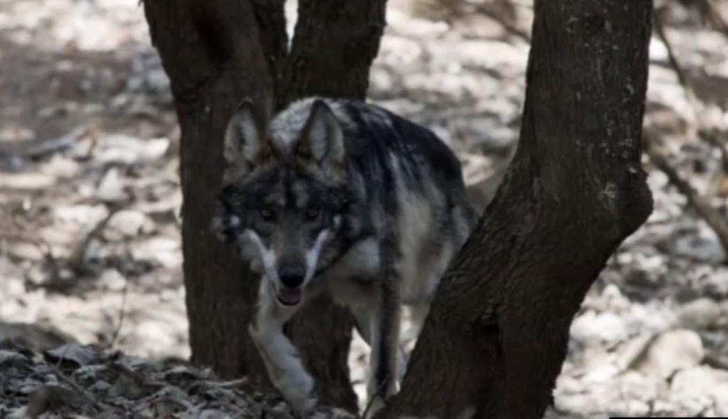 Lobo mexicano es conservado en atlacomulco edomex