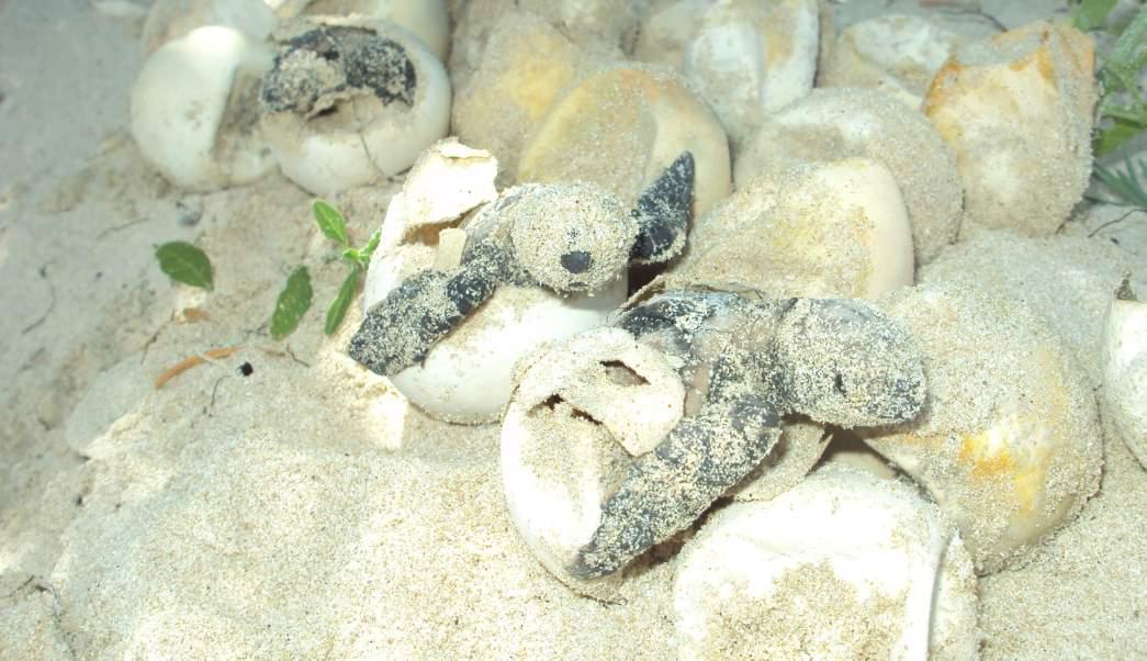 Tortugas, Medio Ambiente, Campos Tortugueros, Anidación