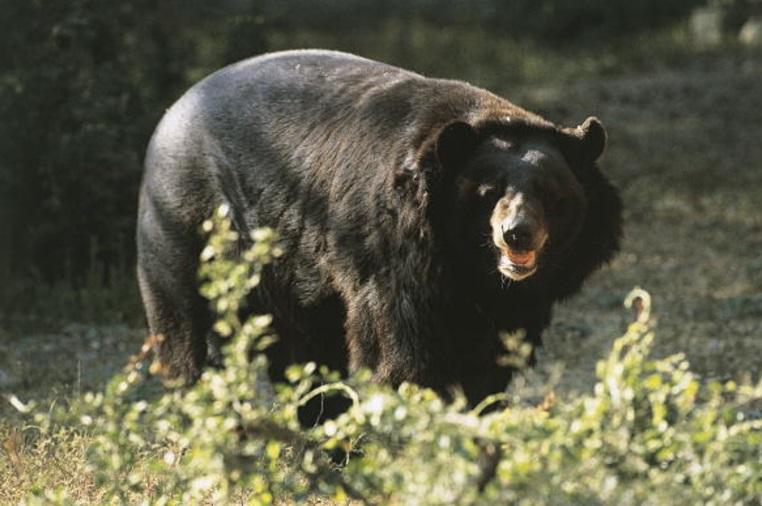 Un oso negro es captado en Estados Unidos (Getty Images/archivo)