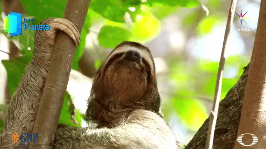 Oso perezoso abrazado a un árbol en Costa Rica