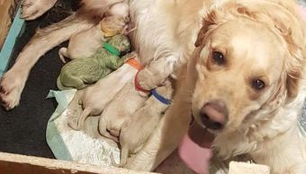 Reino Unido, Golden Retriever, Cachorro Verde, Inglaterra, Noticias, Noticieros