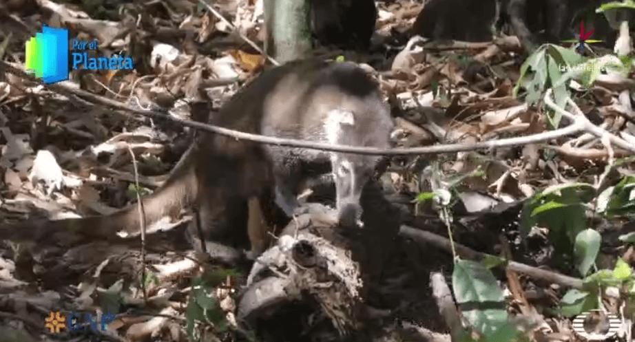 Pizote en el Parque Nacional Corcovado de Costa Rica