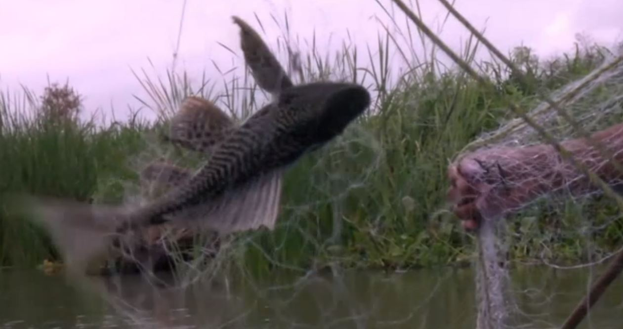 Plaga del pez diablo afecta a pescadores en Tamaulipas