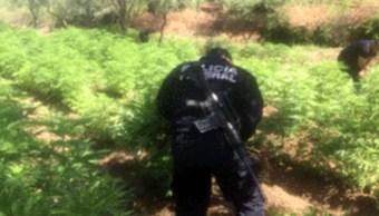 Plantio de Marihuana, Plantio, Sembradio, Narcotrafico, Polica Federal, Seguridad