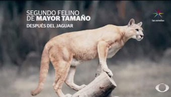 Puma, ataca animales, granja, perro feral, Sierra de Actopan, Hidalgo