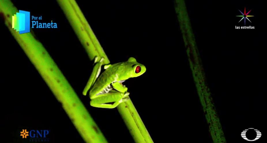 Rana venenosa Agalychnis Callidryas de Costa Rica