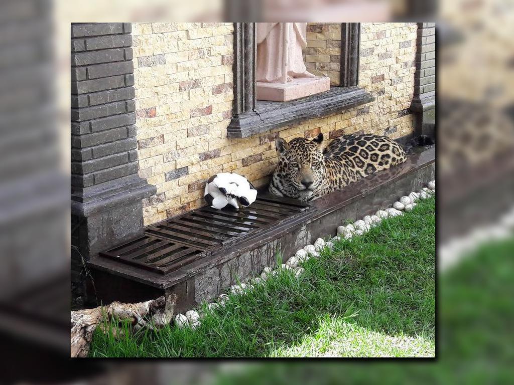 Tenían como mascota a jaguar en vivienda y los denuncian en SLP