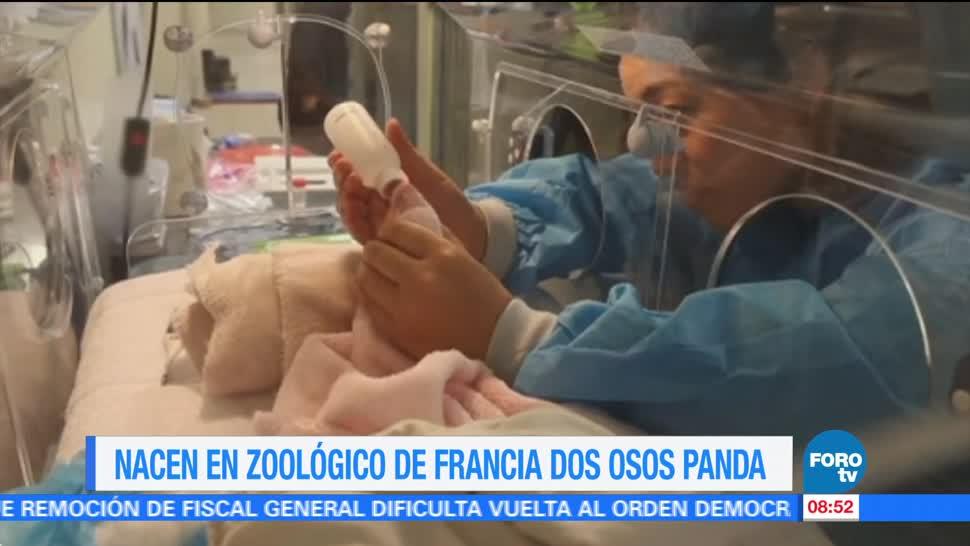 Nacen Zoológico Francia Osos panda