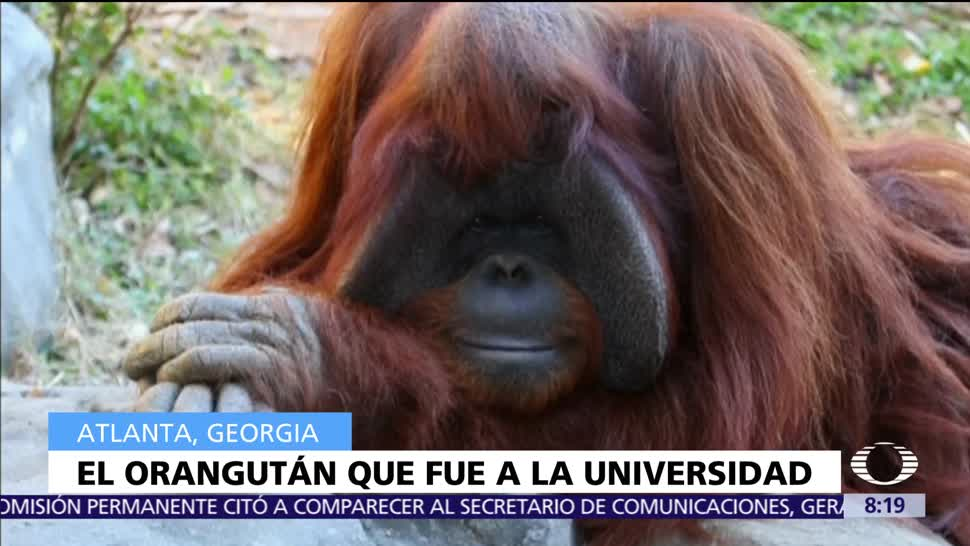 Muere, Chantek, orangután, Universidad