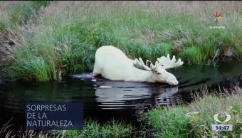 Alce albino vuelve viral redes sociales