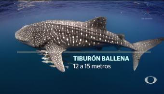 pez más grande mundo llega México