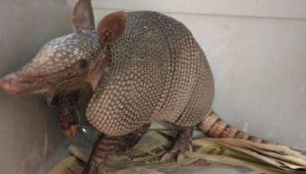 Profepa reintegra a su habitad a armadillo en Nuevo León