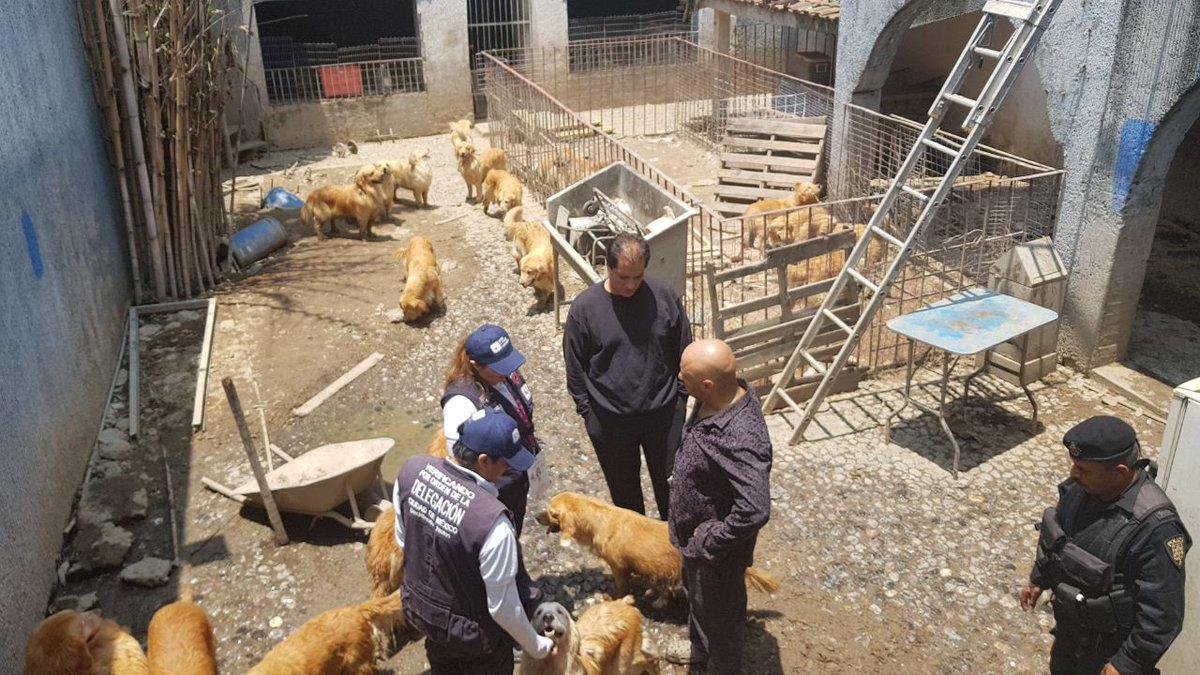 Rescatan a una treintena de perros Golden Retriever en Iztapalapa