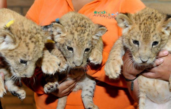 crias leon africano centro ecologico macho hembras