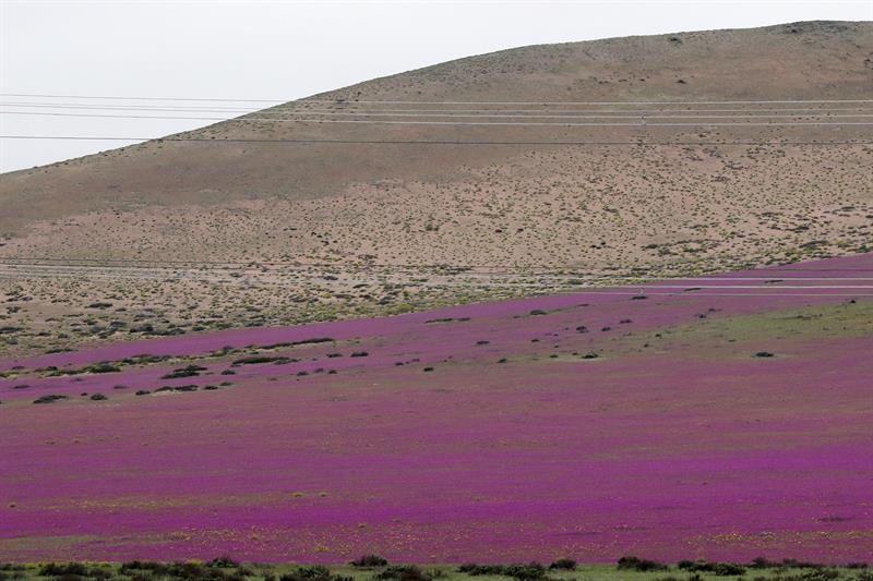 lluvia y flores en el desierto de atacama