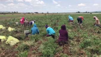 Empresas canadienses emplean temporalmente a jornaleros de Zacatecas