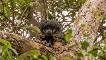 primate encuentran amazonas 80 años