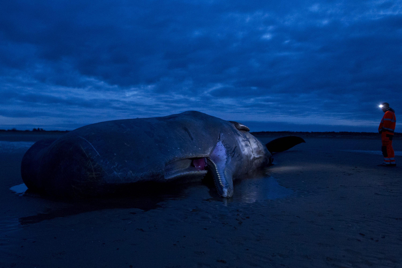 Es verdad que las ballenas se suicidan, suicidio en masa ballenas, es verdad que las ballenas se suicidan, cuando encallan las ballenas, ballenas suicidan, suicidio, ballenas, suicidan