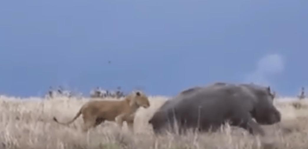 leona, hipopótamo, Kenia, animales