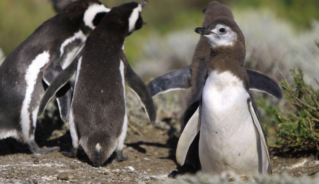 pingüinos, patagonia, Argentina, ambientalistas