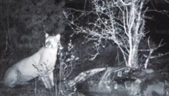 buscan capturar y reubicar puma hidalgo