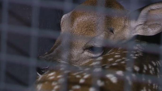 Salvan a 'bambi regio' de morir atropellado en bulevar de Monterrey