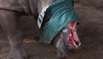 Sudáfrica pone en marcha subasta de cuernos de rinoceronte