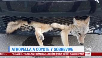 Extra, Extra: Atropella a coyote y sobrevive