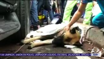 Titán y los perros rescatistas que son héroes tras terremoto en CDMX
