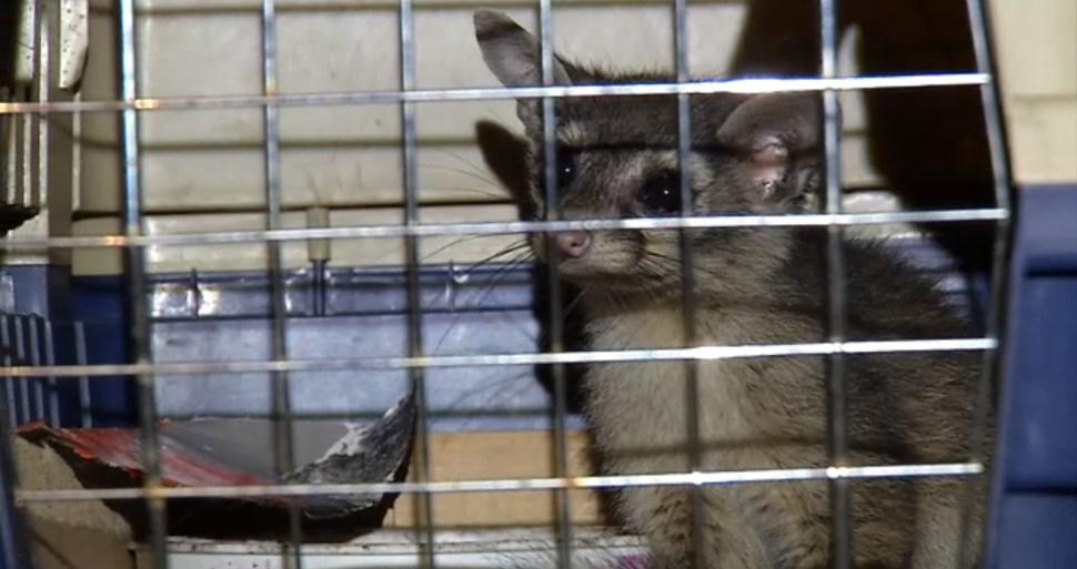 rescatan a un cacomixtle en la delegacion coyoacan cdmx
